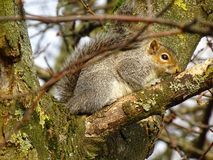 Adorable squirell. Hiding high in the tree, adorable squirell Royalty Free Stock Photos