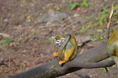 Adorable Squirrel Monkey on a Fallen Tree stock image