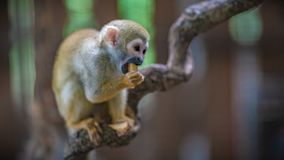 Squirrel Monkey In Forest Zoo royalty free stock photography