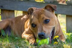 Adorable staffordshire bull terrier puppy laying in the grass with a yellow ball