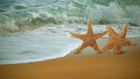 Adorable Star Fish Walking Along the Beach Royalty Free Stock Image