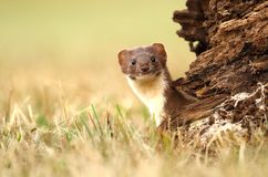 Adorable stoat Stock Image