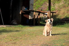 Adorable stray dog sitting quietly on lawn of rural country home Royalty Free Stock Images