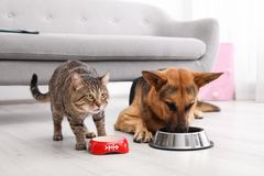 Adorable striped cat and dog eating together indoors. Royalty Free Stock Photography
