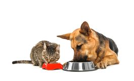 Adorable striped cat and dog eating together. On white background. Animal friendship stock photos