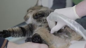 Adorable striped cat in veterinary clinic, people hold a pet and veterinarian specialist making to a cat ultrasound. Tiger striped fluffy cat in veterinary stock video