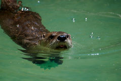 Adorable Swimming River Otter Sticking His Head Out of the Water Royalty Free Stock Images