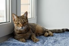 Adorable tabby cat closeup is laying on a blanket near to the window and looking into a camera. Royalty Free Stock Image