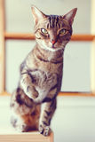 Adorable tabby cat with stripes and yellow green eyes sitting looking in camera Stock Photos