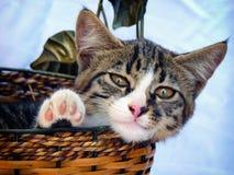 Adorable tabby cat in wicker basket over blue background. Adorable tabby gray baby cat in wicker basket over blue background Royalty Free Stock Image