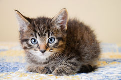 Adorable Tabby Kitten on Blue and Yellow Quilt Royalty Free Stock Image