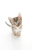 Adorable Tabby Kitten Royalty Free Stock Photos