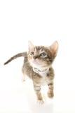 Adorable Tabby Kitten Stock Image