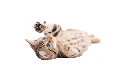 Adorable Tabby Kitten laying on its back. Adorable tabby kitten with blue eyes laying on its back on a white background Stock Photos