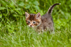 Adorable tabby kitten portrait Royalty Free Stock Photography