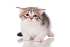 Adorable tabby kitten Royalty Free Stock Images