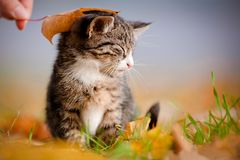 Adorable tabby kitten under an autumn leaf Stock Image
