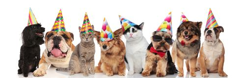 Adorable team of birthday pets of different breeds royalty free stock photo