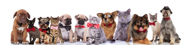 Adorable team of stylish cats and dogs with bowties. Standing, sitting and lying on white background stock image