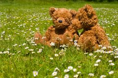 Adorable teddybear couple. Teddy couple sitting in grass with many white flowers Stock Photo
