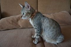 Adorable teen pregnant tabby cat live indoor. And stay on sofa royalty free stock image