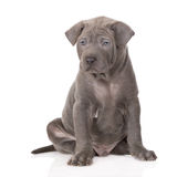 Adorable thai ridgeback puppy on white Royalty Free Stock Photography