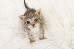 Three weeks old tabby baby cat looking up sitting on a white fur seen from a high angle view. Adorable three weeks old tabby baby cat looking up sitting on a Stock Image