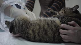Adorable tiger striped cat in veterinary clinic, people hold a pet and veterinarian specialist making to a cat. Tiger striped fluffy cat in veterinary clinic stock video footage