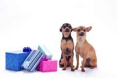 Adorable tiny dogs and gift boxes. Russian toy chihuahua and toy-terrier sitting near boxes with gifts over white background, studio shot. New Year and holiday Royalty Free Stock Photos
