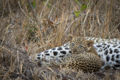 Adorable tiny leopard cub laying next to mom. stock images