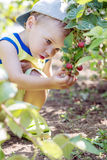 Adorable toddler boy collects and eats raspberries Royalty Free Stock Images