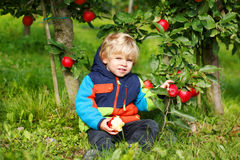 Adorable toddler boy picking and eating red apples in an orchard Royalty Free Stock Photography