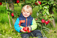 Adorable toddler boy picking and eating red apples in an orchard Stock Photo