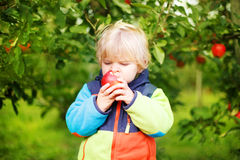 Adorable toddler boy picking and eating red apples in an orchard Stock Photography