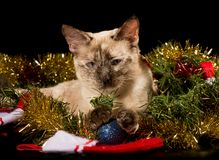 Adorable tortie point Siamese kitten in glittering Christmas tinsel. With her paws on a blue bauble, on black background stock image
