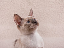 Adorable tortie point Siamese kitten Royalty Free Stock Image