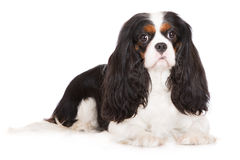 Adorable tricolor cavalier king charles spaniel dog. Cavalier king charles spaniel dog on white Royalty Free Stock Images