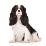 Adorable tricolor cavalier king charles spaniel dog Stock Images