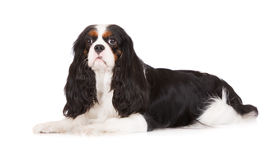 Adorable tricolor cavalier king charles spaniel dog Royalty Free Stock Image
