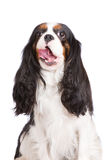 Adorable tricolor cavalier king charles spaniel dog Royalty Free Stock Photo