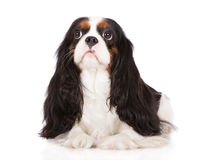 Adorable tricolor cavalier king charles spaniel dog Stock Photography