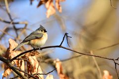 Baeolophus bicolor. An adorable tufted titmouse perched on a branch on a late afternoon day in Missouri Royalty Free Stock Photos