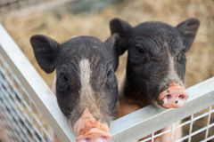 Adorable two piglet or pigs in farm. Portrait adorable two piglet or pigs in shed with dried grass or straw of farm. Cute animal waiting for food. Agriculture stock images