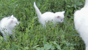 Adorable two white kitten with mom on the lawn stock video