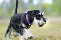 Cute black silver Miniature Schnauzer puppy dog exploring outdoors. An adorable and very cute black and silver purebred Miniature Schnauzer baby puppy dog is stock photos