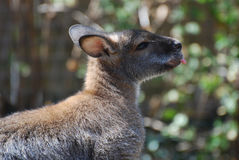 Adorable Wallaby with a Pink Tongue Stock Images