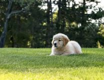 Cute Golden Retriever Puppy Laying In Grass. Adorable 8-week old Golden Retriever puppy laying in his lush green grass in his backyard in the summer sunshine stock photos