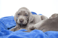 Adorable Weimaraner puppy Royalty Free Stock Photography
