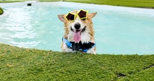 Adorable welsh corgi dog smile face wear yellow sunglasses in swimming pool at weekend stock photos