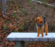 Adorable Welsh Terrier dog on a winter bench in the forest. stock photos